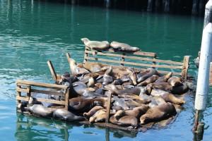 Seelöwen in Monterrey